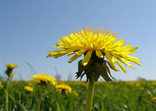 dandelion meadow stock photos