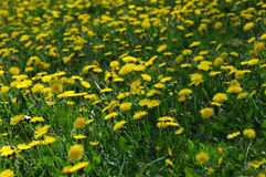Dandelion Meadow. Meadow full of yellow dandelions Stock Images