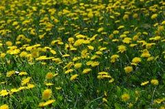 Dandelion Meadow Stock Images