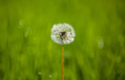 Dandelion in a meadow on a background of green grass. royalty free stock images