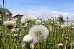 Dandelion in a meadow Stock Image