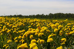 Dandelion. Meadow with blooming yellow dandelions close up in spring Royalty Free Stock Photography