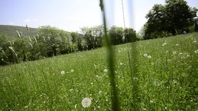 Dandelion on a meadow. Blowballs, wishies, crane stock video footage