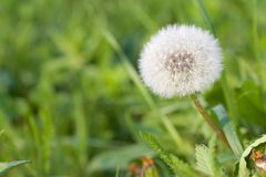 Dandelion on a meadow Royalty Free Stock Photos