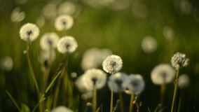 Dandelion meadow closeup. Dandelion white meadow and grass closeup stock footage