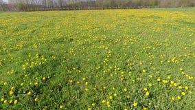 Dandelion on a meadow. The dandelion on a meadow stock video
