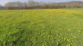 Dandelion on a meadow. The Dandelion on a meadow stock footage