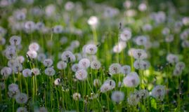 Dandelion on a meadow royalty free stock photo