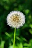 Dandelion in a meadow Royalty Free Stock Photos