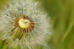 Dandelion, Meadow, Flower, Seeds Royalty Free Stock Photo