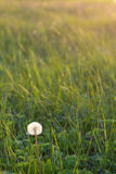 Dandelion in a meadow Royalty Free Stock Photography