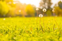 Seasonal closeup meadow grass and dandelion in sunset light on blurred background stock images