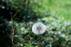 Dandelion on the meadow Stock Photography