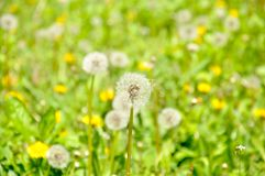 Dandelion among the meadow of green grass stock image