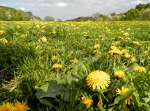 Dandelion meadow and grey sky Royalty Free Stock Photo