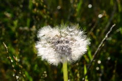 Dandelion on the meadow growing alone Royalty Free Stock Images
