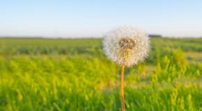 Dandelion in a meadow in the light of sunrise in spring royalty free stock images