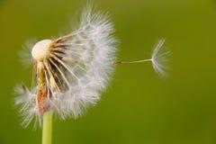 Dandelion. Incomplete dandelion in meadow. Green background Royalty Free Stock Image