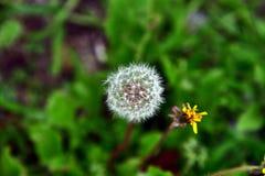 Dandelion. Dandelion in a meadow.