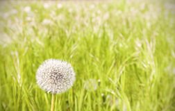 Dandelion on a meadow. Stock Images