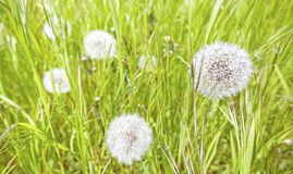 Dandelion on a meadow. Royalty Free Stock Images