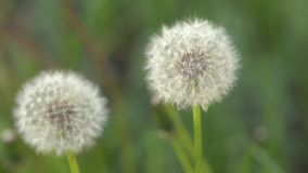 Dandelion on the meadow. Overgrown with green grass meadow. Among the grasses you can see numerous yellow dandelion flowers and developed dandelions full of stock video footage