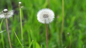 Dandelion on the meadow. Overgrown with green grass meadow. Among the grasses you can see numerous yellow dandelion flowers and developed dandelions full of stock footage
