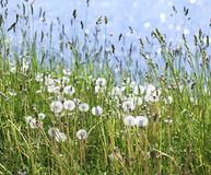 Dandelion meadow by the river Royalty Free Stock Photography
