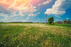 Dandelion meadow Stock Photos
