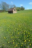 Dandelion meadow with shed in background Stock Images