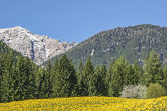 Dandelion meadow  in South Tyrol Royalty Free Stock Photos