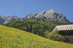 Dandelion meadow  in South Tyrol Royalty Free Stock Images