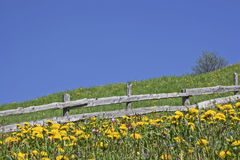 Dandelion meadow  in South Tyrol Royalty Free Stock Photography