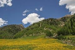 Dandelion meadow  in South Tyrol Stock Image