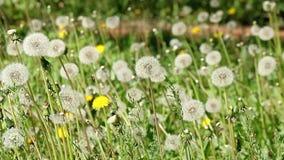 Dandelion meadow spring season stock video