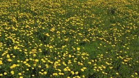 Dandelion meadow in Summer stock video