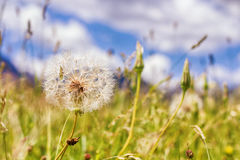Dandelion at the Meadow Royalty Free Stock Photos