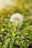 Dandelion on the meadow at sunlight. Background. Green background stock photo