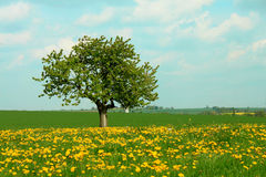 Dandelion meadow and tree Royalty Free Stock Photo