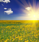 Dandelion meadow under sun Royalty Free Stock Images