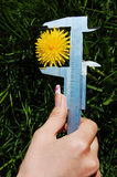Dandelion Measuring Stock Photography
