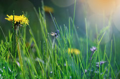 The dandelion meets dawn. Royalty Free Stock Image