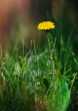 The dandelion meets dawn. Royalty Free Stock Photos