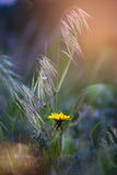 The dandelion meets dawn. Stock Images