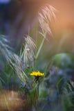 The dandelion meets dawn. Stock Images