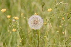 A dandelion Royalty Free Stock Photos