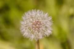 A dandelion Stock Photo