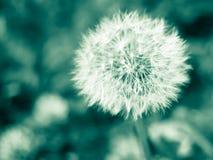 Dandelion - monochrome Royalty Free Stock Image