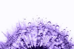 Dandelion in morning dew Royalty Free Stock Photo