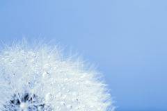 Dandelion in morning dew Royalty Free Stock Photo